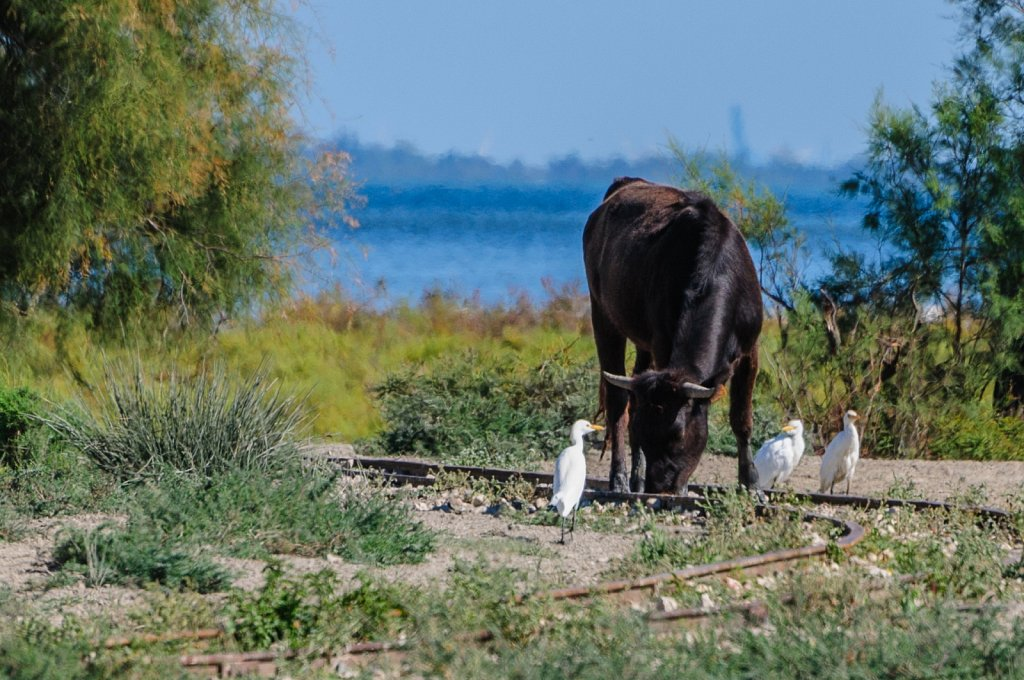 Wild living bulls
