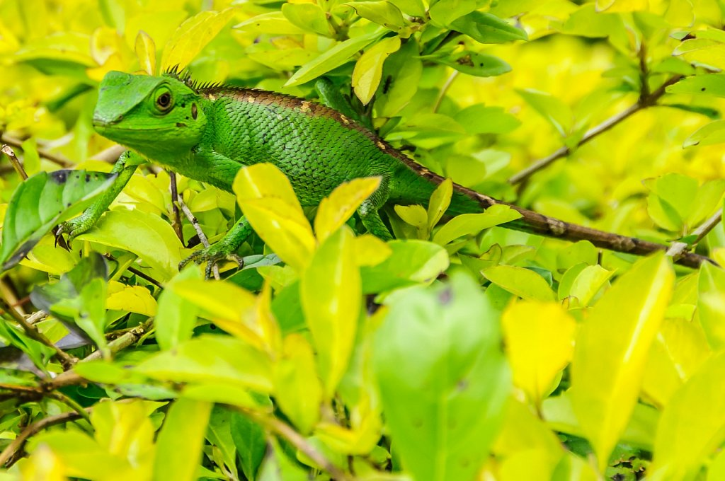Lizard in a tea bush