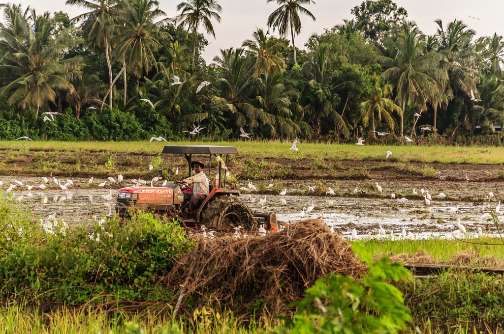 Rice farmer shares his field with herons