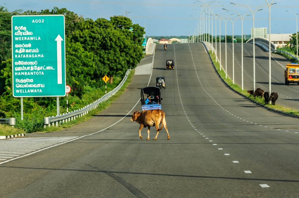 Beware of the cows on the hightway
