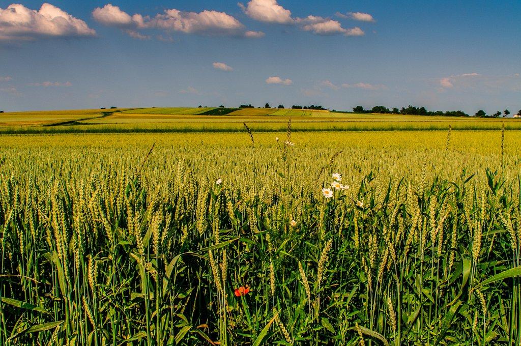 Field with corn poppy
