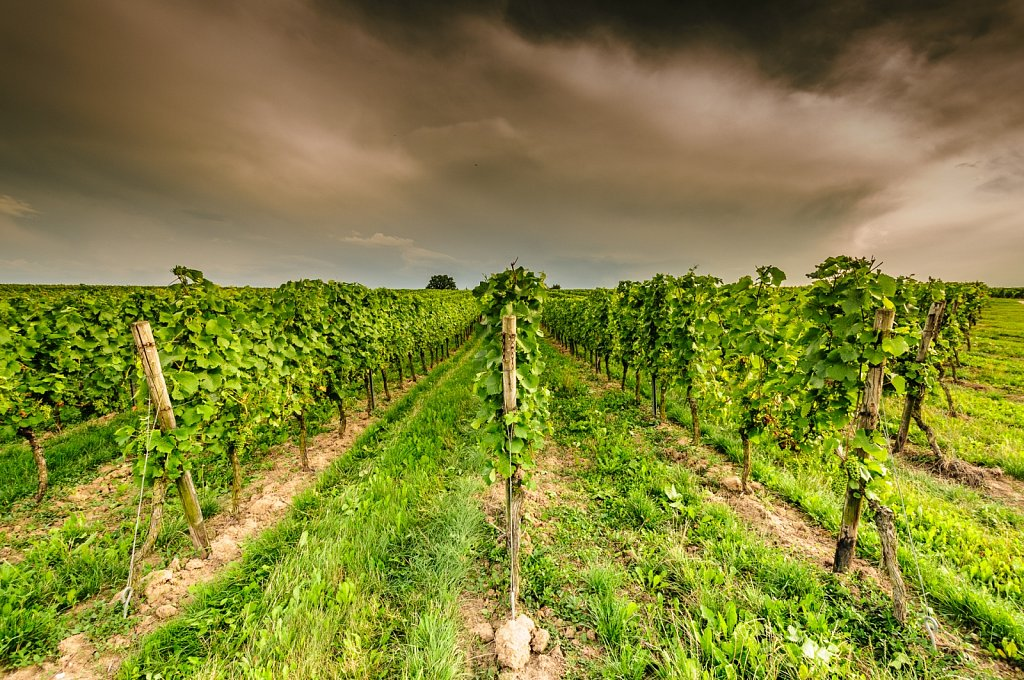 Evening in the vineyard
