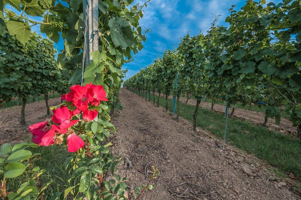 Wild rose in a vineyard