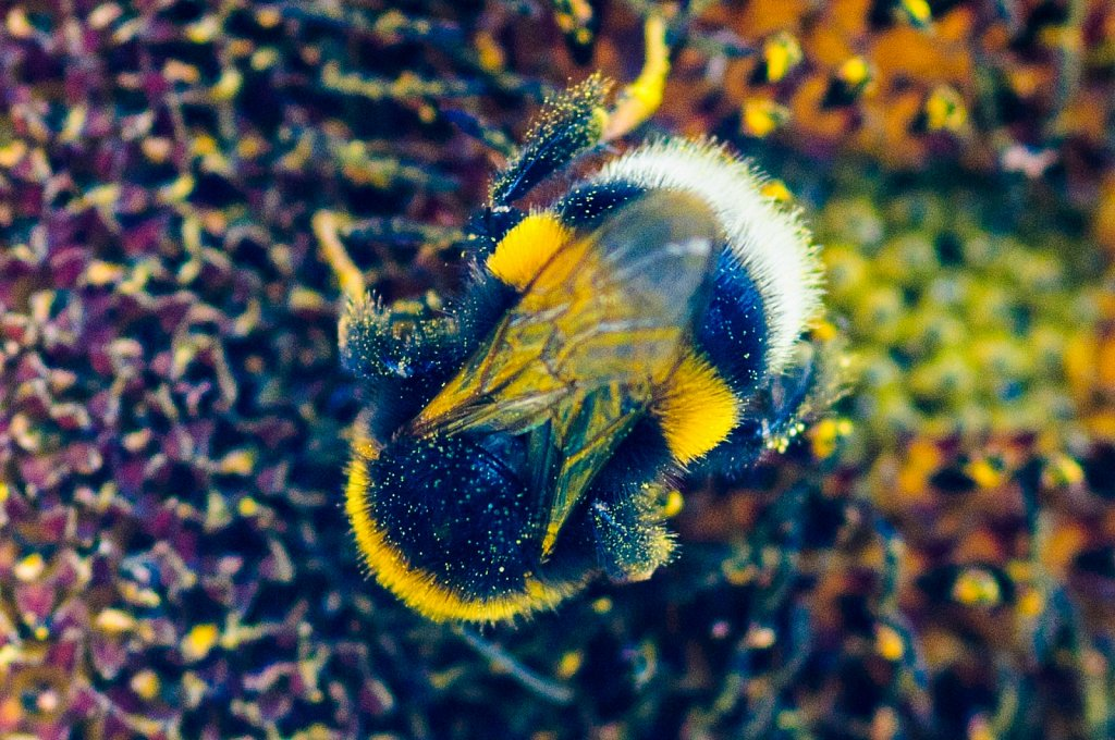 Humble bee on a sunflower